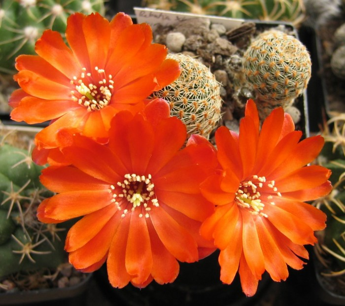 Cactus Seeds Rebutia schatzliana WR640