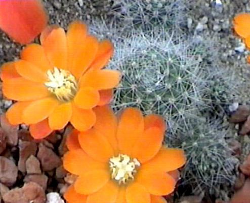 Mes petites plantes grasses et cactées - Page 6 Abuining2
